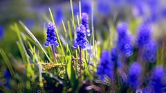 Flowers (-Simulacrum-) Tags: flowers spring blueflowers grass nature bokeh depthoffield dof nikon nikond5300 sigma closeup beautiful creative outdoor lawn 170500mmf28