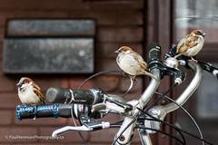 One of us has to pedal (Paul Henman) Tags: eastend focusongerrard bicycle torontophotowalks winter photowalk sparrow topw2017rs bike httppaulhenmanphotographyca 2017 toronto ontario canada paulhenmanphotographyca topw littleindia paulhenman