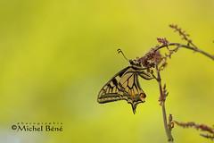 le poseur (studio gimi) Tags: papillon butterfly insecte nature natur macro planrapproché grosplan flou depthoffield sigma105mm extérieur outdoor marais profondeurdechamp