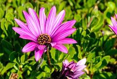 Pretty flowers make everything better :) (kimnadineprowse) Tags: macro closeup colourful purple gorgeous stunning pretty flowers seaside sunshine summer nikon holiday devon dawlish photography