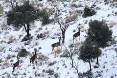 CIERVA EN EL PAISAJE NEVADO (Jose Angel Rodriguez) Tags: ciervo cierva cervuselaphus paisajenevado nieve sierradebaza parquenaturalsierradebaza baza granada joseangelrodriguez