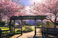 The Sakura Gate in Vancouver BC Canada (TOTORORO.RORO) Tags: bc canada greatervancouver britishcolumbia colors vancouver nature living walk life cherryblossoms cherryblossom cherry blossom sakura sakula spring flower festival vancouvercherryblossomfestival tree street 桜