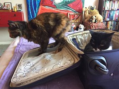Helping me Unpack (Philosopher Queen) Tags: mina zeena cats suitcase unpacking trip chats gatos kitties helpfulcats