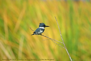 Belted Kingfisher (Explore 2017-03-20)
