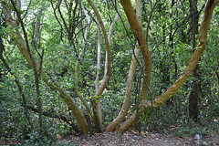 Polyaxial Arbutus andrachne (МирославСтаменов) Tags: crimea tree arbutus trunk forest evegreen axis greenery mountain