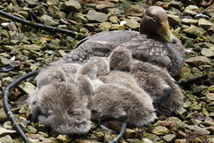 Falkland Flightless Steamerduck Family (Med Gull) Tags: zegrahm antarctic 2017