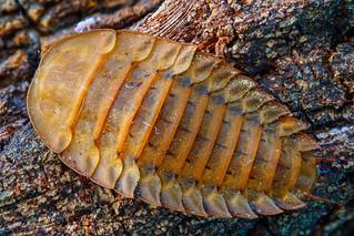 Silpha sp larva