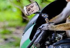 My new Motor Bike (kumherath) Tags: smileonsunday animalpaws makesmesmile monkey paw motorbicycle reflection mirror funny
