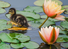 Duckling on Lily Pads (Cordia Loretta) Tags: flowers flower cordiamurphy green peach duckling botanicalgarden exhibit waterlily lilypad lilypond