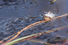 Moorfrosch Pärchen 1 (Luziferian) Tags: frog moorfrosch blue animal amphibian mating lake pond water germany schleswigholstein behavior wildlife