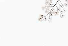 cherry blossom (otonasoto) Tags: summicron leica m8 cherryblossom 90mm