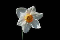 Narcissus / Narcisse (Franck Zumella) Tags: flower narcissus narcisse garden park jardin parc white blanche blanc jaune yellow
