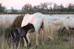 Scène de Camargue 1 (Xtian du Gard) Tags: poulain foal pouliche filly chevaux horses camargue nature bestiaire paca provence