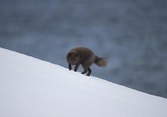 Iceland (richard.mcmanus.) Tags: iceland arctic westfjords fox arcticfox wildlife mcmanus animal mammal snow water ocean