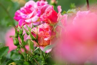 Rose 'Edgar Degas' raised in France