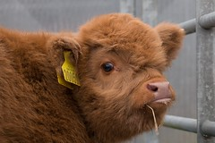 Baby highland Coo! (GWMcLaughlin) Tags: highland cow cattle glasgow animal livestock baby calf bovine queens park glasshouse scotland canon 70d eos 18135 efs lr lrmobile lightroommobile