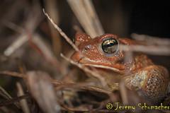 American Toad (Jeremy Schumacher) Tags: amphibian animal nature wildlife shawnee illinois nikon d5000 40mm macro toad american anaxyrus americanus