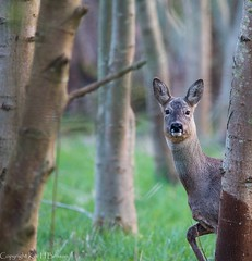 I see you! (kimbenson45) Tags: thrupp animal black brown deer differentialfocus forest nature outdoors roe shallowdepthoffield trees wildlife woods