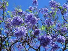 Jacaranda Tree (Hawai'i Naturalist) Tags: jacaranda tropical hawaii honolulu botanical blue