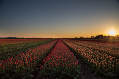 First tulip fields this year. (Monika Kalczuga (on&off)) Tags: sunset tulpen tulipany tulipfields flowerfields flowers nature holland netherlands denhelder field