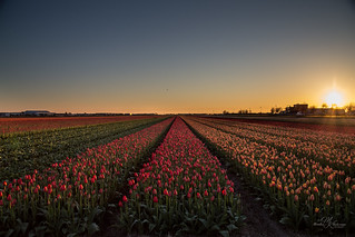 First tulip fields this year.