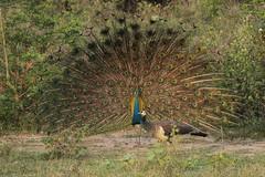 Courtship dance (ORIONSM) Tags: peacock courtship dance nature birds udawalawe sri lanka safari olympus omdem1 lumix100300mm
