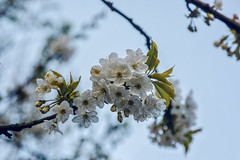 Flower-8302 (EB_Creation) Tags: cherry cherryblossom tree white flower sky nikon nikond7100 sigma sigma170700mmf2840 silhouettes outside april spring springtime bokeh dof depthoffield dx 2017 camera lens digital