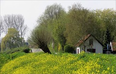 Spring in Holland (daaynos) Tags: holland landscape landschap dijk tinte trees willows flowers koolzaad rapeseed