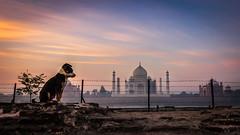 Now I See You - Agra, India (Kartik Kumar S) Tags: tajmahal taj agra uttarpradesh mehtab bagh sunrise clouds colors borders fences canon 600d tokina 1116mm fence architecture ruins remains puppy animal dog
