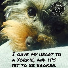 I think it's safe… (itsayorkielife) Tags: itsayorkielife yorkie yorkielove yorkiememe yorkshireterrier