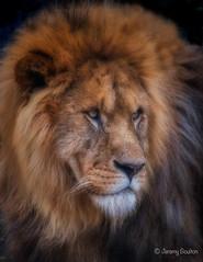 Dominance (JKmedia) Tags: lion pantheraleo male profile portrait newquayzoo zoo captivity fromlongleat blackbackground bigcats bigcat cat feline boultonphotography 2017