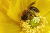 Miner bee in welsh poppy #2 (Lord V) Tags: macro bug insect bee minerbee andrena