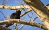 Stare - European Starling  - Sturnus vulgaris (Peter Dahlgren) Tags: animal bird djur europe europeanstarling feathering feathers fjäderdräkt fjädrar fågel nature spring stare sturnusvulgaris sweden vingar vår wings outdoor tree