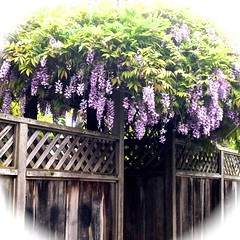 Wisteria City (melystu) Tags: gate fence wisteria chinese nonnative purple hanging vine city spring ca berkeley