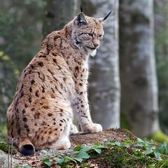 Lynx lynx - Euraziatische lynx (wimberlijn) Tags: lynxlynx euraziatischelynx lynx beiersewoud luchs bayerischerwald nationalparkzentrumlusen bavarianforest nature wildlife animal outdoor
