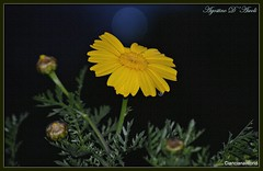 Margherita gialla  - Aprile-2017 (agostinodascoli) Tags: nature texture margherita fiori nikon nikkor cianciana sicilia agostinodascoli macro nikonclubit
