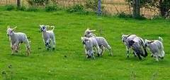 Frolicking spring lambs 2 (Jayembee69) Tags: lamb lambs sheep easter spring clothall herts hertfordshire england english uk unitedkingdom britain british field livestock playful animal animals baby