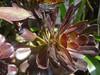 DSC02524a (alfredoeloisa) Tags: plantae magnoliophyta rosidae saxifragales crassulaceae sempervivoideae aeonium aeoniumarboreum