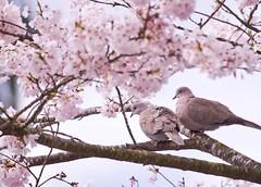 Love is in the Air (robinlamb1) Tags: bird nature animal blooms dove streptopeliadecaocto eurasiancollareddove cherrytree matedpair spring flowers