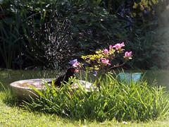 Blackbird in the bird bath. (avtost) Tags: blackbird black bird bath wash drink spray water