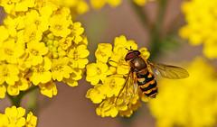 insect, zweefvlieg - Syrphidae (peter.velthoen) Tags: macro tuin garden wespachtig facetogen amarilla geel yellow giallo macrolens insect flower bloemen floroj flavaj zweefvlief syrphidae 300soortenzweefvlieginbenelux syrphe schwebfliege hoverfly