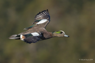 American wigeon with flying colors