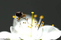 Les fleurs sont belle dès que le printemps revient 05 (letexierpatrick) Tags: fleurs fleur flowers floraison insecte nikon nikond7000 nature botanique bee blanc blanche france printemps bokeh butinage