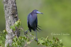 little blue heron (amaw) Tags: winner