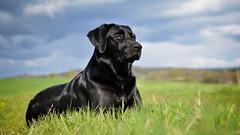April Girl (uwe.kast) Tags: labrador labradorretriever labradorredriver hund haustier dog wolke wiese bokeh nikon nikond600 d600 landschaft