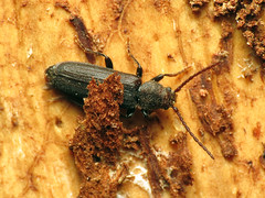 Beetle (treegrow) Tags: washingtondc rockcreekpark lifeonearth nature canonpowershotsx40hs raynoxdcr250 arthropoda insect coleoptera beetle polyphaga