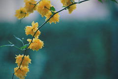 Fragile Beauty (Giulia Gasparoni) Tags: fragile beauty beautiful delicate cute girly colorful yellow amazing wonderful plants flower flowers macro nature indie vintage pale retro photography