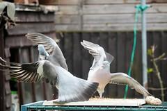 21 April 2017 (39) (AJ Yakstrangler) Tags: yakstrangler pigeon pigeons