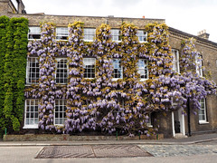 2017-04-23_Fullers02 (Ungry Young Man) Tags: brewery london plant bloom wisteria spring blauregen blueht fruehling blooming springtime chiswick west