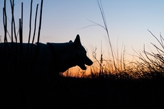Leika at the sunset (rom_guerin) Tags: outdoor sunset dog animal nikon d300s provence sky color spring nature wild explore